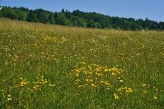 Borstgrasrasen mit Arnica montana. Foto: H. Dierschke.
