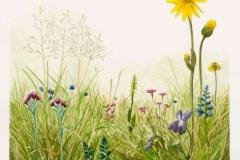 Ein typischer, blütenreicher Borstgrasrasen in künstlerischer Darstellung. Zeichnung: M. Jung.