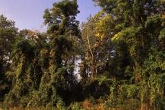 Liana-rich hardwood floodplain forest, Rhinau Island. Photo: D. Remy.