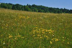 Mat-grassland with Arnica montana. Photo: H. Dierschke.