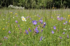 Oat-grass meadow with Geranium pratense, Leucanthemum vulgare and Ranunculus acris in a park in Bernburg/Saxony-Anhalt. Photo: S. Tischew.