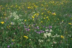 Species-rich oat-grass meadows were still widespread in many regions of Germany three decades ago. This picture shows a meadow in the central Black Forest in 1982. Photo: A. Schwabe.